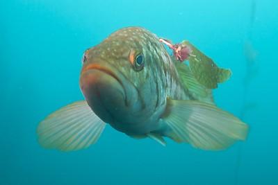 A Kelp Bass with an ID tag.