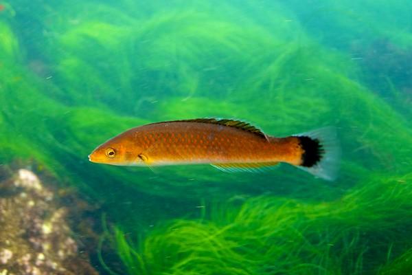 Senorita Fish