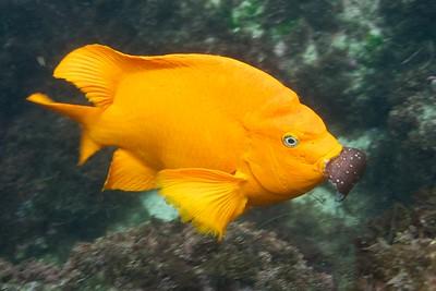 A Garibaldi Eating  a Meal.