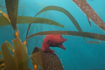 A Red Sea Hare.