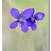 Canadian Violet1 April 25, 2014_