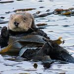 Sea Otters | Morro Bay, CA