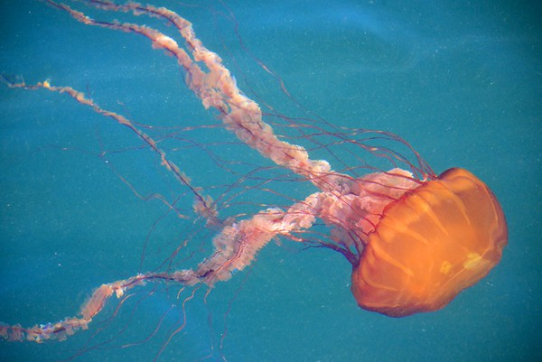 Black Sea Nettle