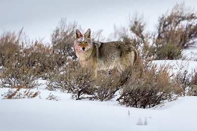 Coyote After Feeding