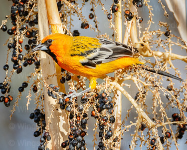 Streak-backed Oriole-2935