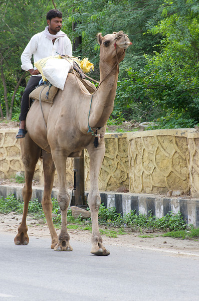 Man Riding a Camel near Amer Fort, Jaipur