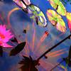Water Lilies, Zilker Botanical Gardens