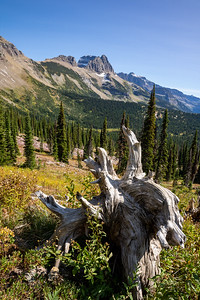 Dead White Tree Stump with Valley and Mountains in the Background from Granite Park Chalet in Glacier National Park