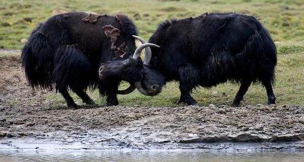 Yaks Fighting Near The Khardung La Road