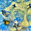 Geese at Landa Park in New Braunfels Texas