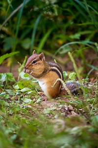 chipmunk sitting up eating a small seed
