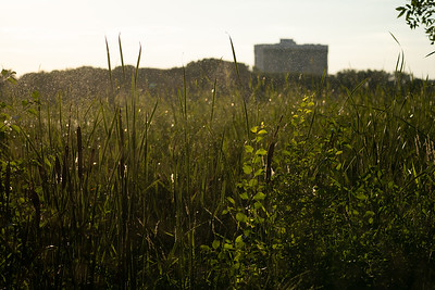 summer sunset over the reeds at the edge of wetland