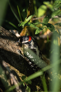 downy woodpecker on a forest floor branch