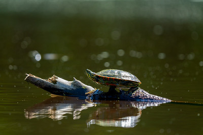 painted turtle sitting on a floating log on a calm pond