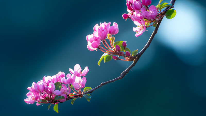 Crabapple branch, laden with blossoms.