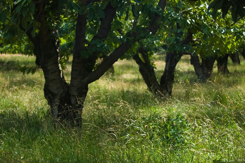 Orchard at Hood River, Oregon