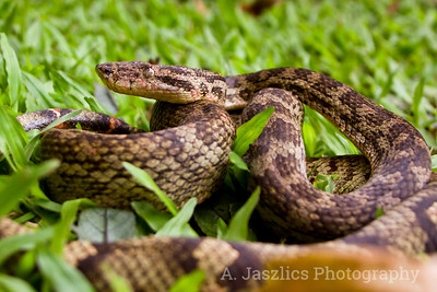 Pacific Ground Boa