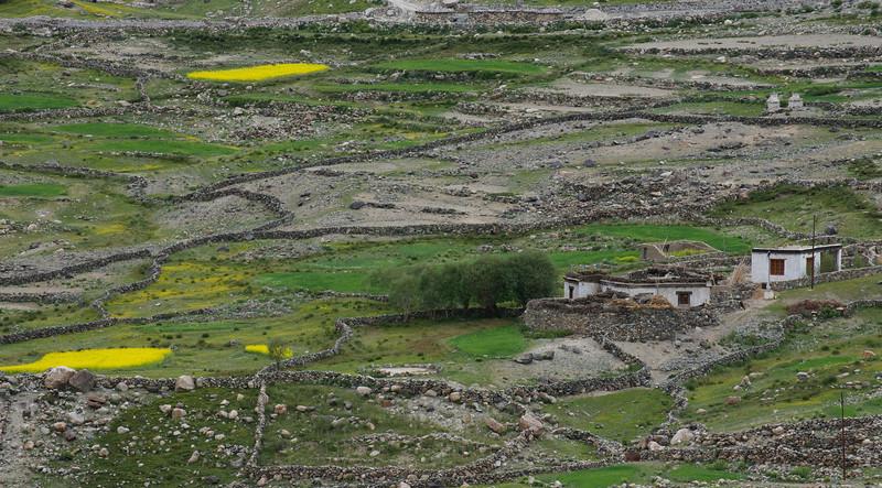 Mustard Fields on the Khardung La Road