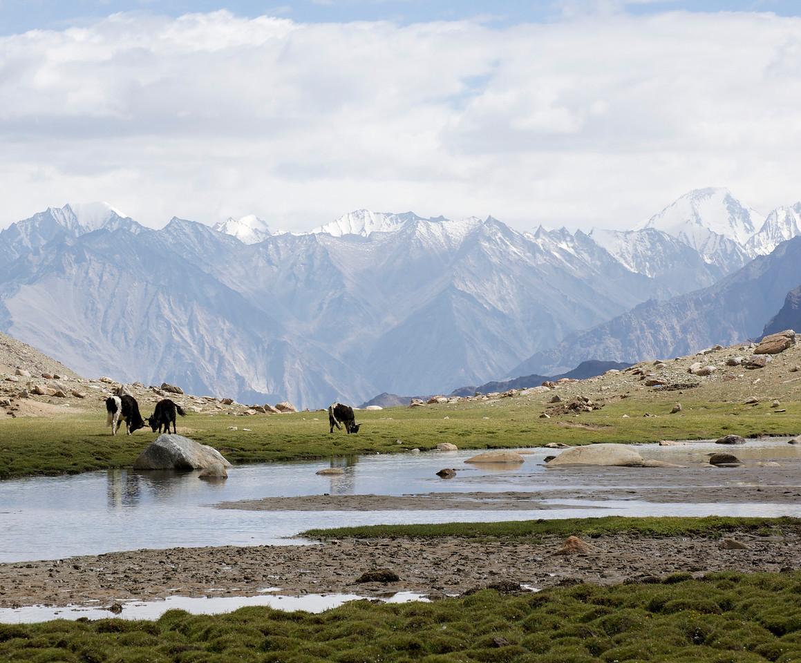 Yaks Near The Khardung La Road Backed by the Eastern Karakoram Range