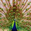 Peacock #4, Mayfield Park, Austin Texas