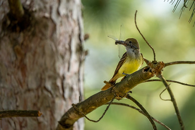 great crested flycatcher with its dragonfly catch in a tree