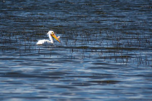 Pelican in the Reeds