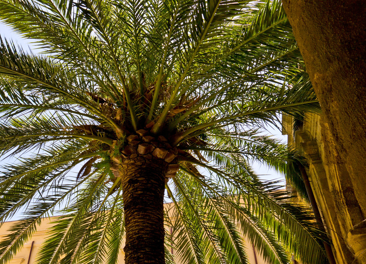 Palm in Noto Sicily