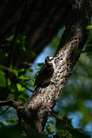 yellow-bellied sapsucker sitting in the sunlight on a tree