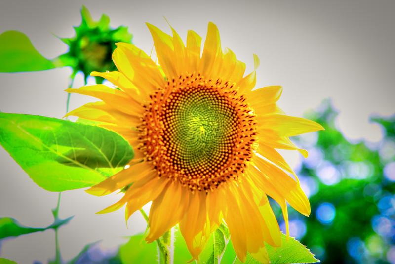 Sunflower 2015 #1