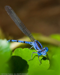 Male Argia Dancer Damselfly