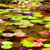 Austin Pond Tour, Mapped Water Lilies