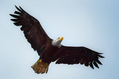 Bald Eagle over Lake Washington