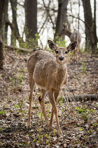 young female deer in the woods looking at the camera