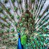 Peacock #6, Mayfield Park, Austin Texas