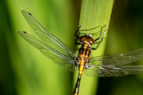 Dragonfly Close Crop on a Reed