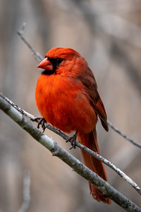 close-up of a cardinal on a branch on a cool day