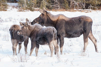 This photo appears in the official Yellowstone National Park calendar published by Yellowstone Forever.  Moose cow with twin calves covered in frost, near Warm Creek, Yellowstone National Park, Montana.
