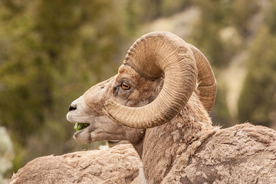Bighorn Sheep ram, beside the Yellowstone River in Yankee Jim Canyon, Montana.