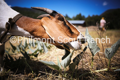 Eliza the goat reaches out to eat a leaf at Abreu on July 21, 2016. / Nathaniel Aron Photo Lab Tech