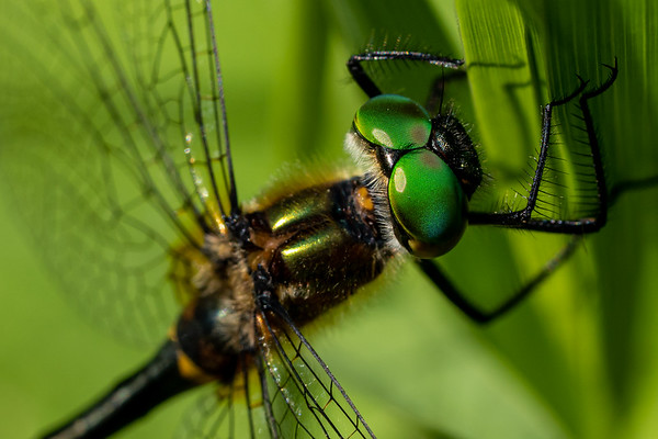 Close up of a Dragonfly Head