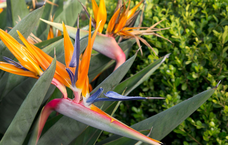 Bird of Sicilian Paradise