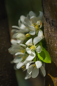 white flower blossoms just off the trunk of a tree
