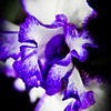 Blue Iris, Zilker Botanical Gardens, Austin Texas