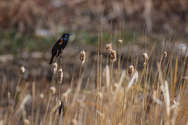 Red-winged Scouting