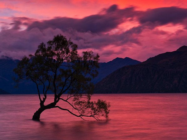 That Wanaka Willow
