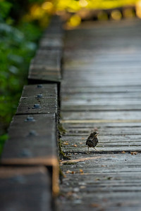 baby bird walking down a trail boardwalk in a forested park