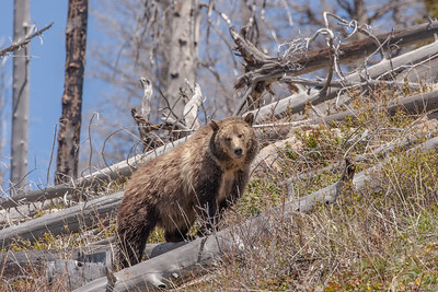 Grizzly Bear Sow, Yellowstone National Park, Wyoming