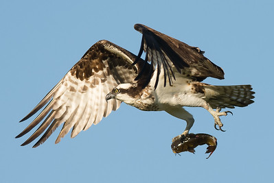 Osprey - Baskett Slough Wildlife Refuge, Oregon 2016
