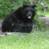 Large Florida Black Bear