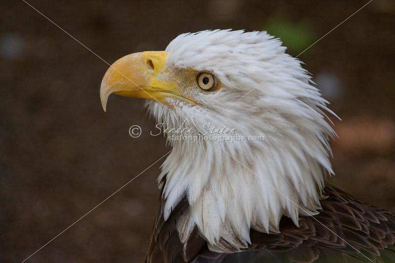 Bald Eagle_SS4271